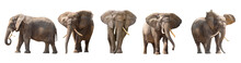 African Elephants Isolated On ...