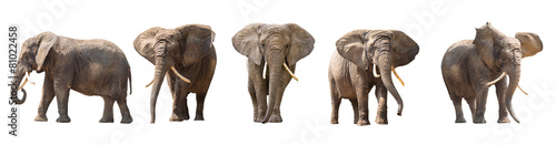 African elephants isolated on white Canvas Print