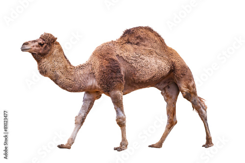 Camel isolated on white Fotobehang