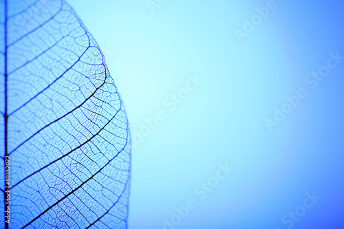 Canvas Prints Decorative skeleton leaves Skeleton leaf on blue background, close up
