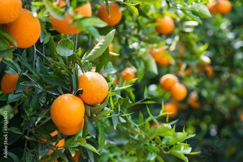 Obraz Orange trees with ripe fruits - fototapety do salonu