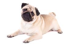 Funny Pug Dog Lying Isolated On White