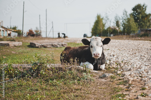Fotografia  Young bull-calf 2356.