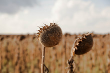 Wilted Sunflower, Dried Sunflowers