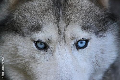 Papiers peints Loup Portrait d'un loup aux yeux bleus