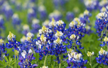 Texas Bluebonnet (Lupinus Texe...