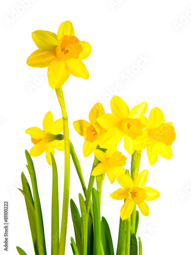 In de dag Narcis freigestellte Osterglocke