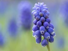 春の花壇のムスカリ