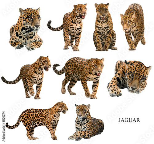 Tuinposter Luipaard jaguar ( panthera onca ) isolated on white backgrond