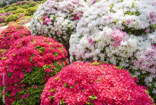 Papiers peints Azalea 赤白ピンクのツツジの花