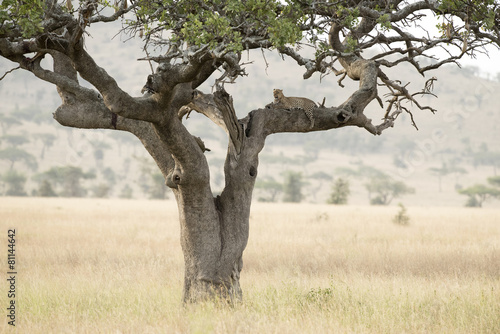 Printed kitchen splashbacks Bestsellers Tanzania Serengeti National Park leopard