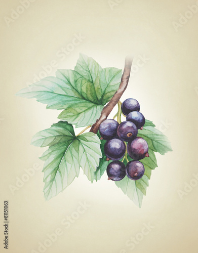 Watercolor black currants illustration - 81151063