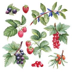 Watercolor illustrations of berries