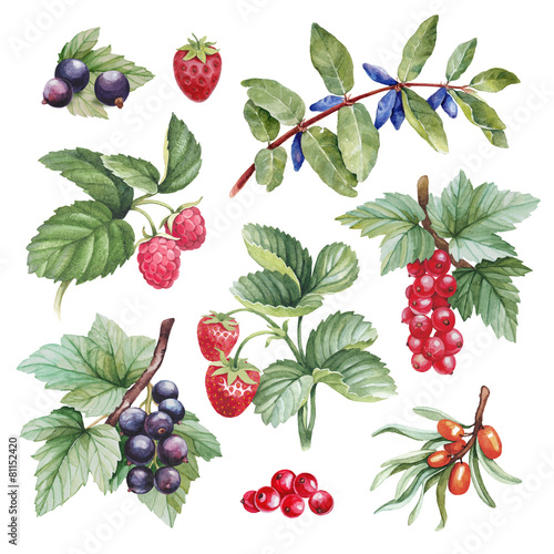 Watercolor illustrations of berries - 81152420