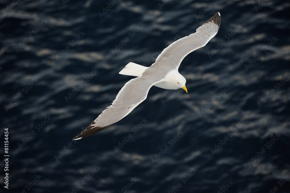 Seagull flying over blue water background..