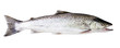 Sea trout fish isolated on white background