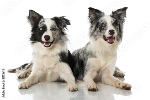 Foto Zwei Border Collies