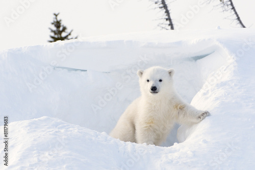In de dag Ijsbeer Polar bear cub coming out den, Wapusk N.P.