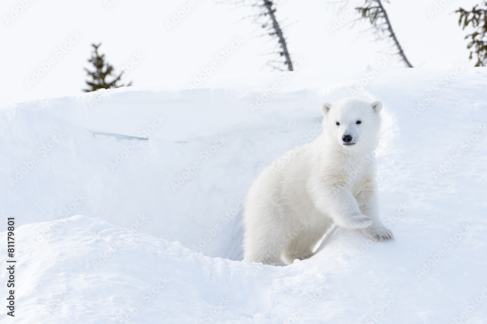 Polar bear cub coming out den, Wapusk national park, Canada.