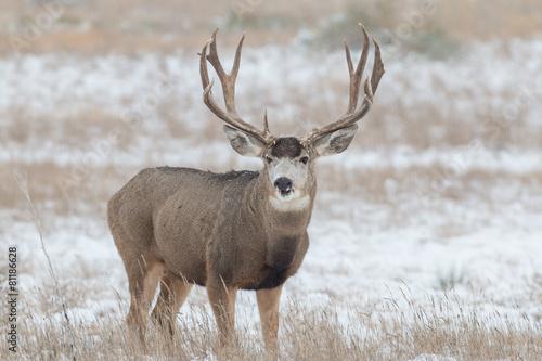 Poster Cerf Mule Deer Buck in snow