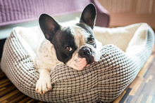 Adorable French Bulldog On The Lair