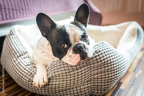 Adorable french bulldog on the lair Canvas Print