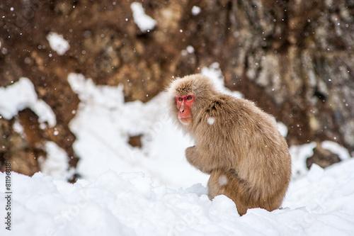 Fotografie, Obraz  Macaco japonês / japonský opičí