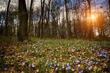 Niebieskie kwiatki w lesie