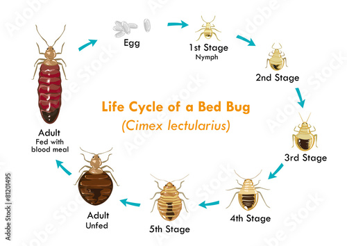 Bed Bug Life Cycle Vector Illustration Fototapeta