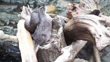 Otters Playing Sleeping Together In Natural Log By The Water
