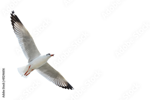 Fotografia Seagull isolated on white