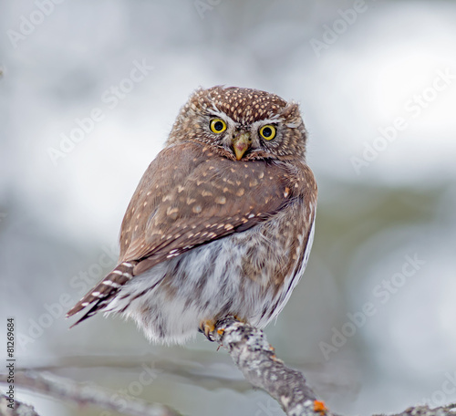 Deurstickers Uil Northern Pygmy-Owl