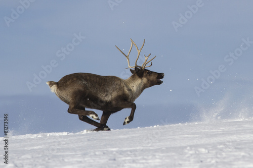 Reindeer which runs on snow-covered tundra Bering Island Canvas Print