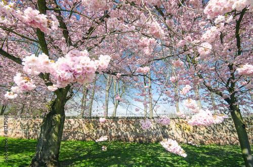 Foto op Plexiglas Magnolia Frühlingserwachen: Japanische Kirschblüten vor alter Mauer :)