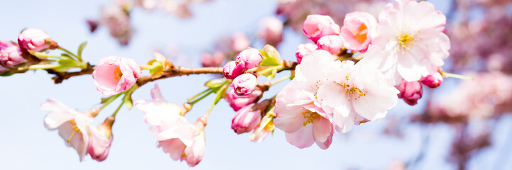 Panel Szklany Popularne kirschblütenzweige