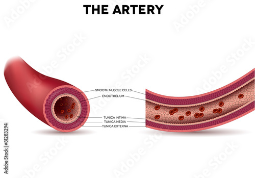 Photo Healthy artery anatomy, artery layers detailed illustration
