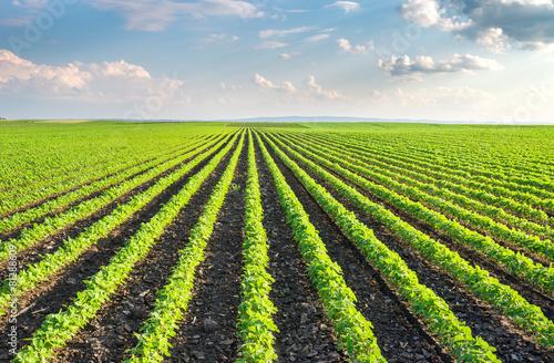Fotobehang Cultuur Soybean Field