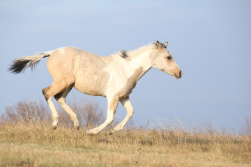 Paint horse foal running in freedom alone