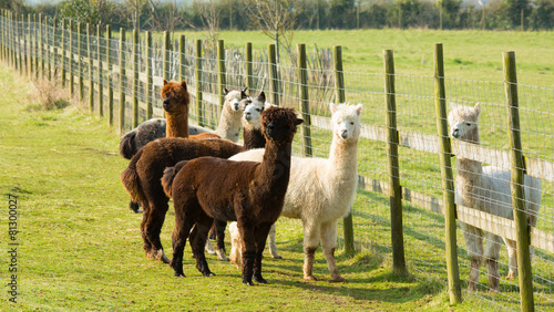 Poster Lama Group of Alpacas by a fence brown white