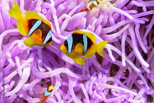 Poster Sous-marin Couple of cute clown-fish in the bush of anemone's.