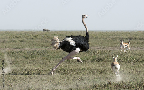 Photo sur Toile Autruche Africa, Tanzania Serengeti National Park, ostrich