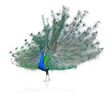 Male Indian  Peacock Displayin...