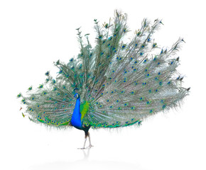 Male Indian Peacock displaying tail feathers Isolated On White