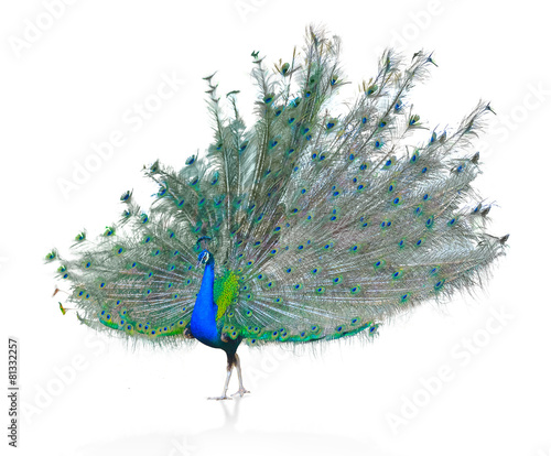 Spoed Foto op Canvas Pauw Male Indian Peacock displaying tail feathers Isolated On White