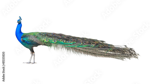 Foto op Plexiglas Pauw Beautiful Male Indian Peacock Isolated On White Background