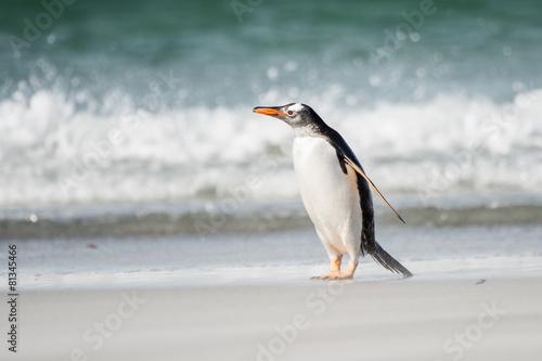 Poster Antarctic Gentoo penguin