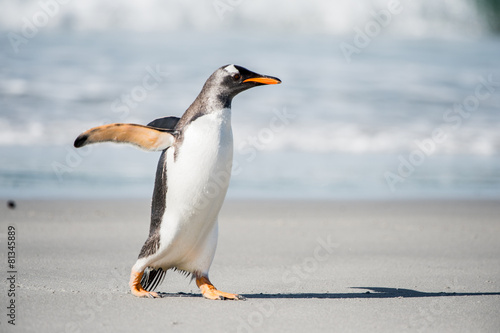 Poster Antarctic Beautiful gentoo penguin portrait, Falkland Island