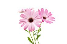 White And Pink Osteospermum Da...