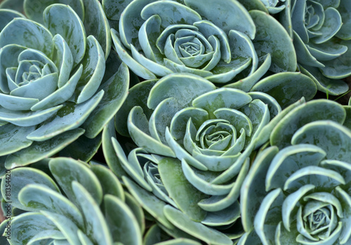 succulent plant Canvas
