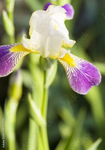 Spoed Foto op Canvas Iris Iris of white and purple colours